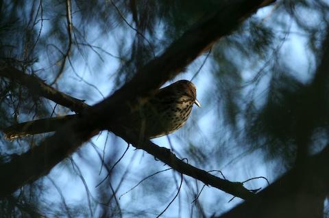 0611 Dark Bird
