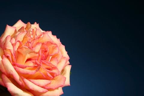 0704_rose_two.jpg