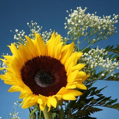 Fotografije suncokreta 0707_sunflower