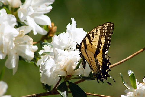 yellow butterfly on white flower